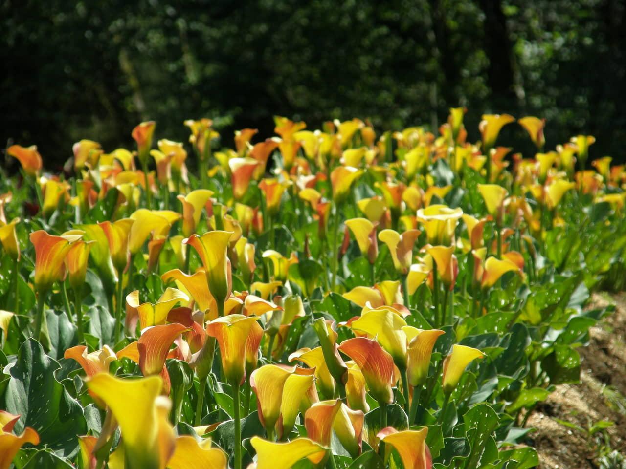 Cánh đồng hoa rum ( Calla lily) trồng bằng củ bừng sáng cả không gian sân vườn