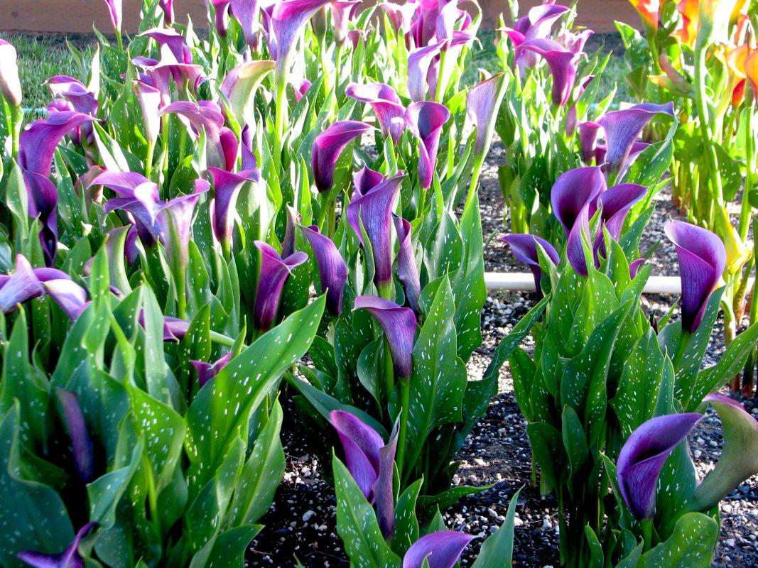 Cánh đồng hoa rum ( Calla lily) trồng củ giống bừng sáng cả không gian sân vườn