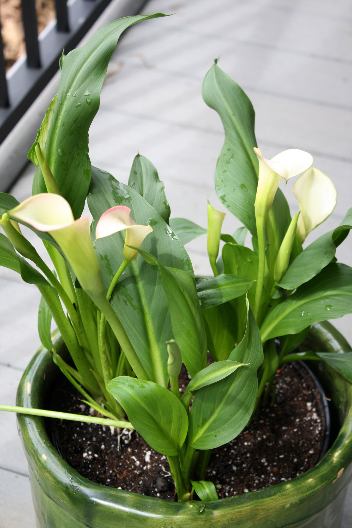 Hoa Arum bắt đầu sinh trưởng và phát triển cho hoa nở đẹp