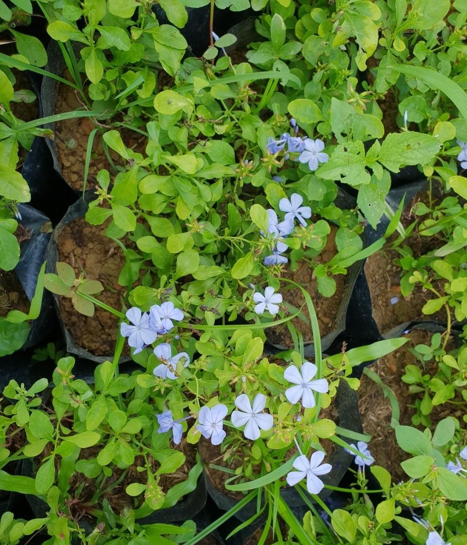 Hướng dẫn cách trồng hoa thanh xà bừng sáng cả góc trời