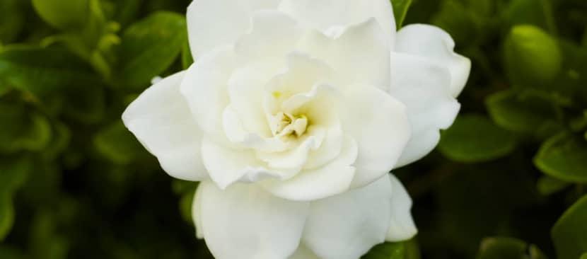 Hoa dành dành mang ý nghĩa về một tình yêu đầu e ấp ngại ngùng chưa dám bày tỏ