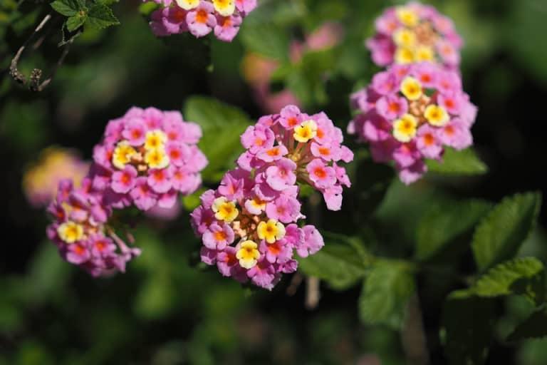 Sự tích và ý nghĩa hoa ngũ sắc thể hiện sự cân bằng hài hòa