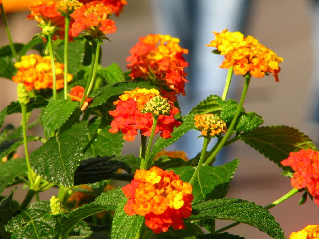 Hoa trâm ổi trồng làm tiểu cảnh, khuôn viên đô thị giúp không khí trong lành