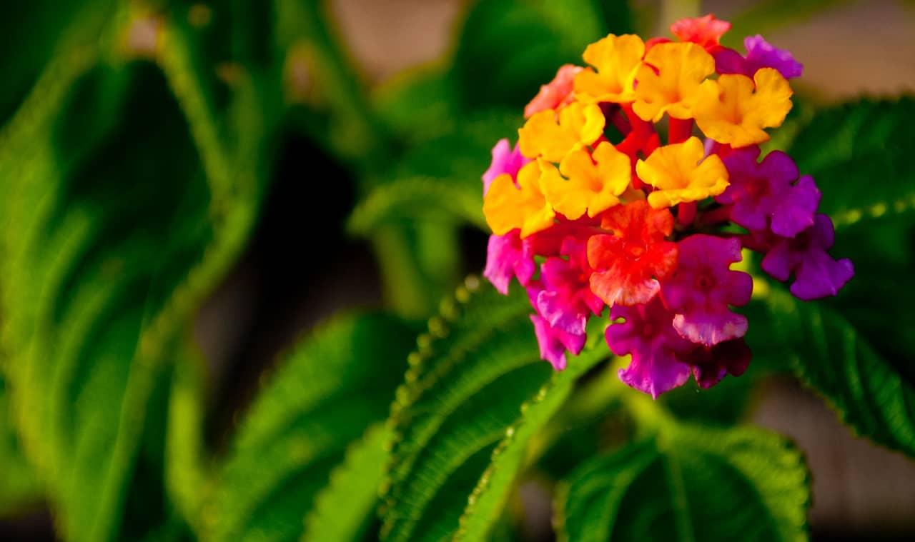 Sự tích hoa ngũ sắc mang thông điệp đáng suy nghĩ