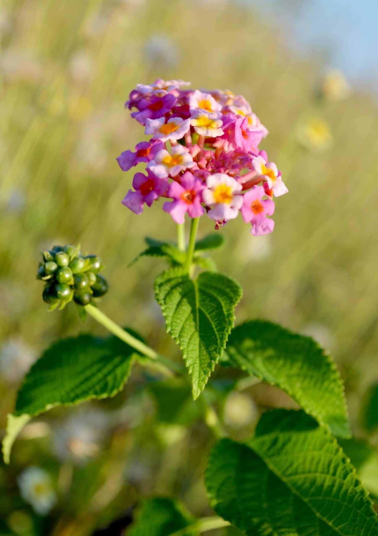 Ngẩn ngơ trước vẻ đẹp của hoa ngũ sắc tên tiếng anh là Lantana
