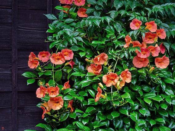 Hoa đăng tiêu - Hoa leo sắc cam tô điểm không gian rực rỡ