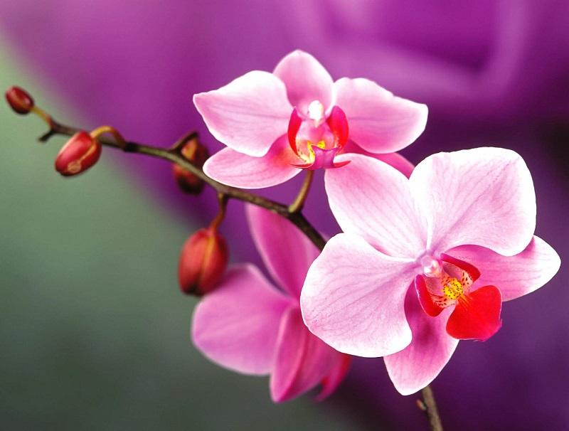 Hoa phong thủy cung Song tử