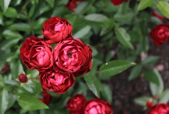 Hoa hồng trứng sắc màu rực rỡ