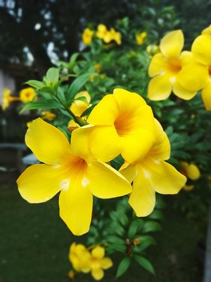 Mách bạn 4 loại hoa leo trồng trước nhà hút tài lộc