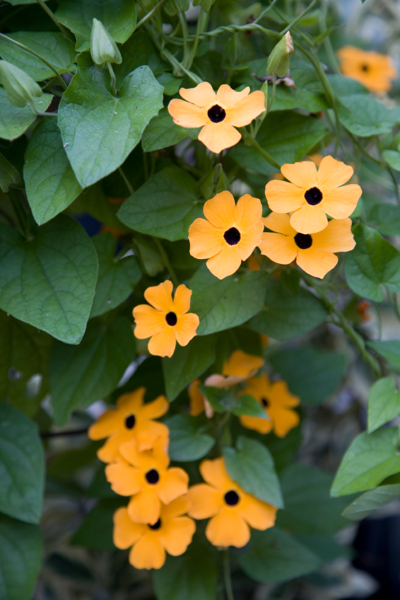 Hoa mắt huyền nhụy đen tô điểm ban công đẹp ấn tượng