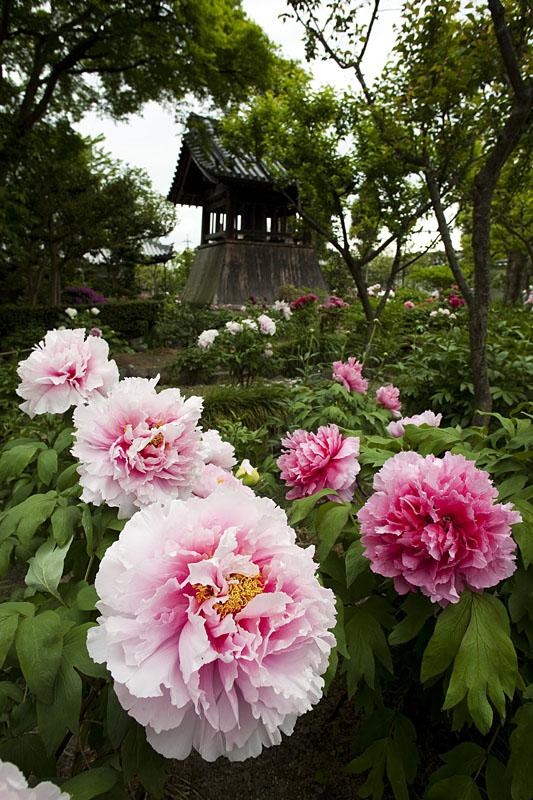 Có nên trồng hoa mẫu đơn trước nhà không