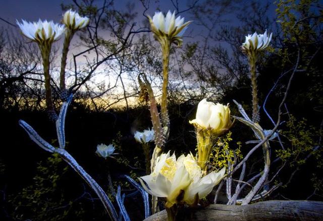 Top 10 loại hoa nở vào ban đêm đẹp xuất sắc vừa nhìn là mê
