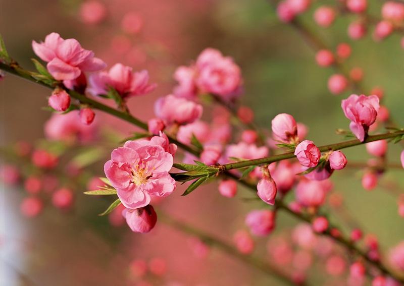 Hoa đào mang ý nghĩa yên bình, may mắn