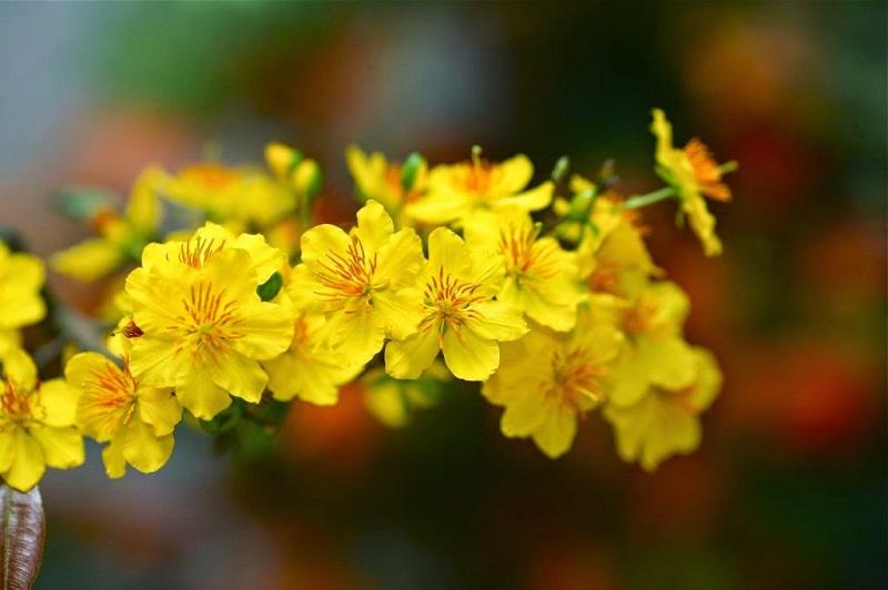 Hoa mai vàng phong thủy đón tài lộc cho gia đình