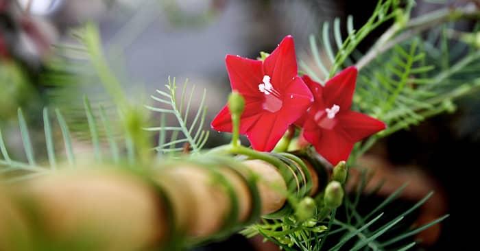 Hoa tóc tiên hoa leo sắc đỏ rực rỡ