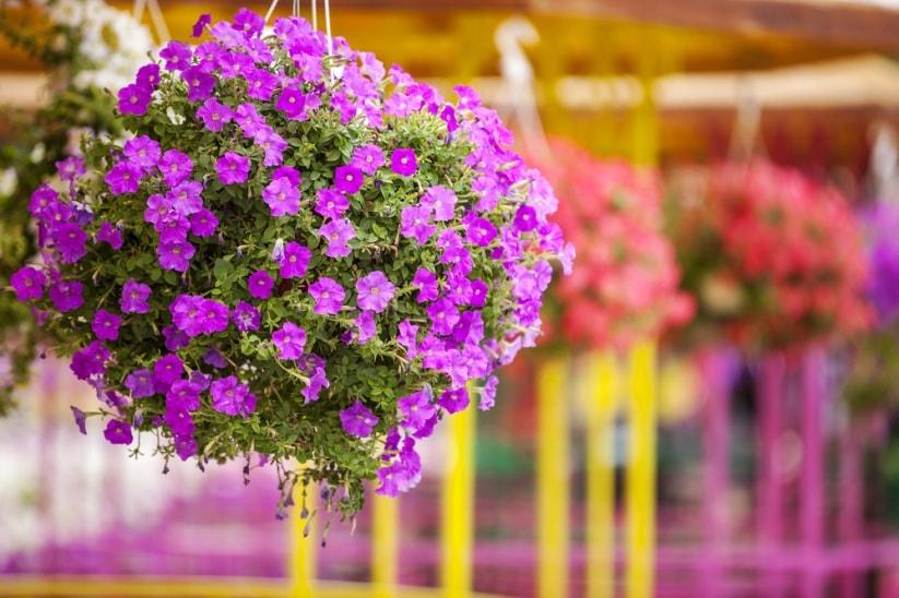 Trồng hoa treo chậu cần lưu ý những gì để hoa tươi tốt 4 mùa