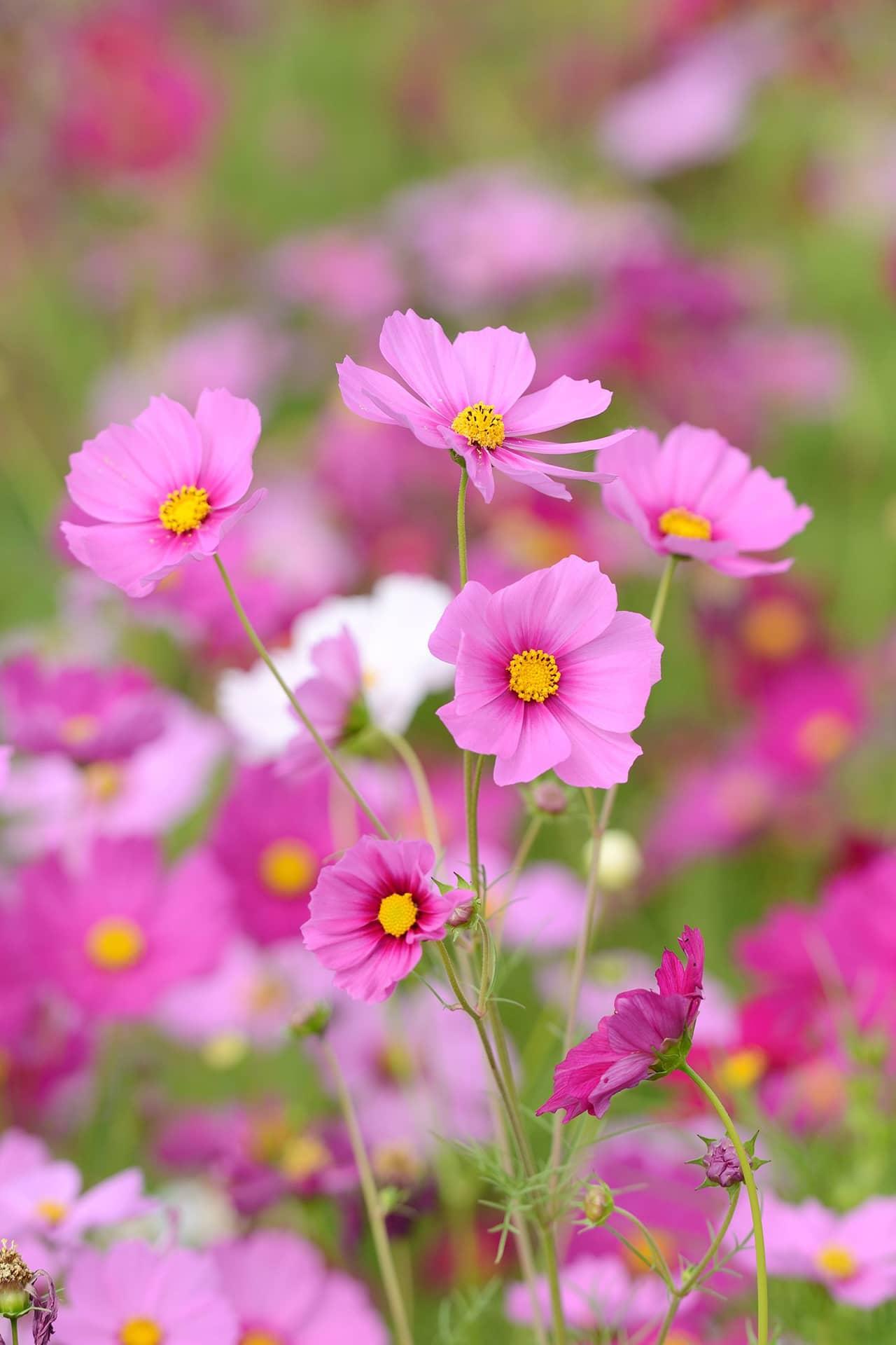 Hoa cúc sao nháy - cánh bướm mang vẻ đẹp của thiên nhiên đẹp lung linh trong gió