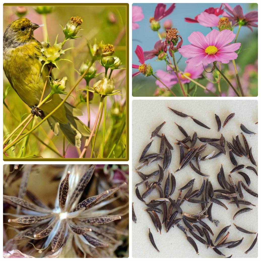 Tuy nhiên bạn có thể thu hái hạt khi thấy hoa cúc saoo nháy đã vàng khô nhưng tỷ lệ nẩy mầm...