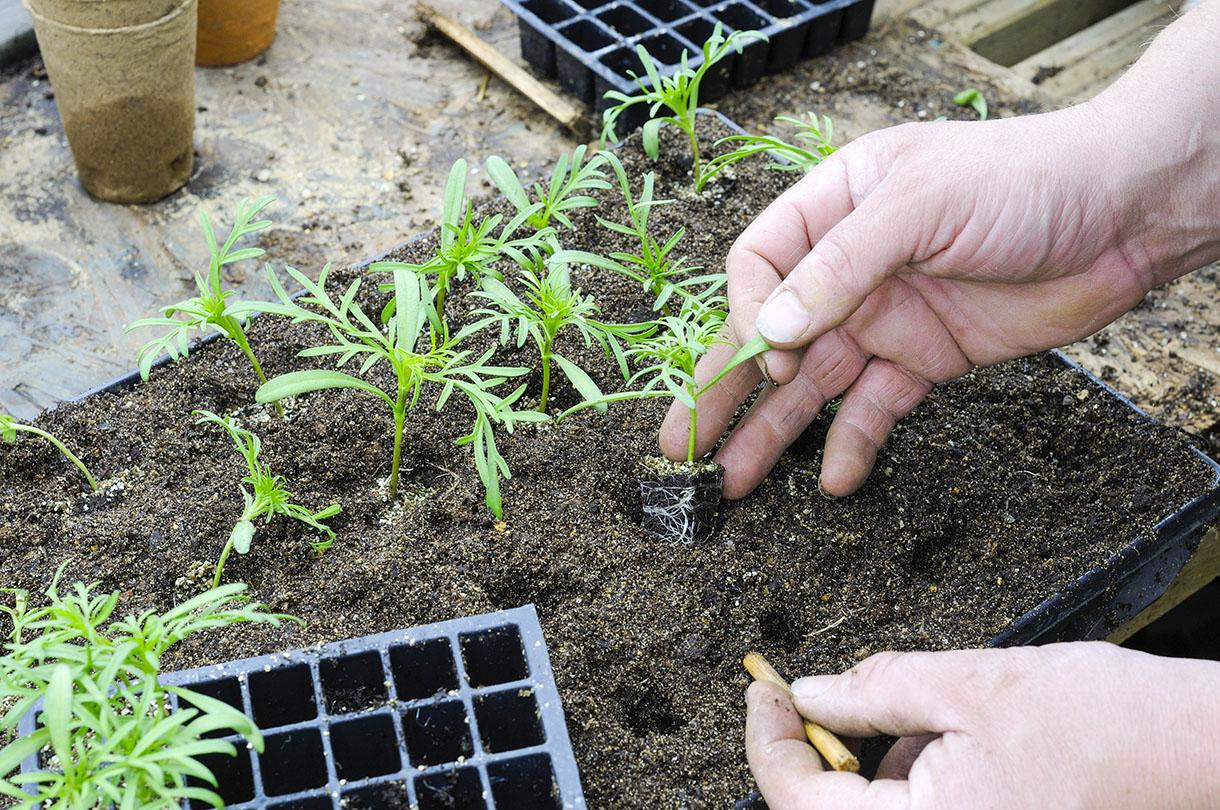 Trồng cây giống xuống luống đã làm sẵn cẩn thận. Tránh làm dập nát bộ rễ, cũng như thân và lá của cây.