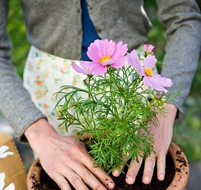Tới giai đoạn ra hoa, nên tiến hành cung cấp thêm hàm lượng phân vi sinh, hoặc phân KCL.