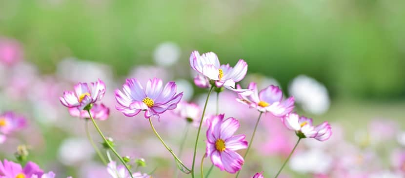 Bí kíp nhân giống hoa sao nháy đẹp lung linh trong gió
