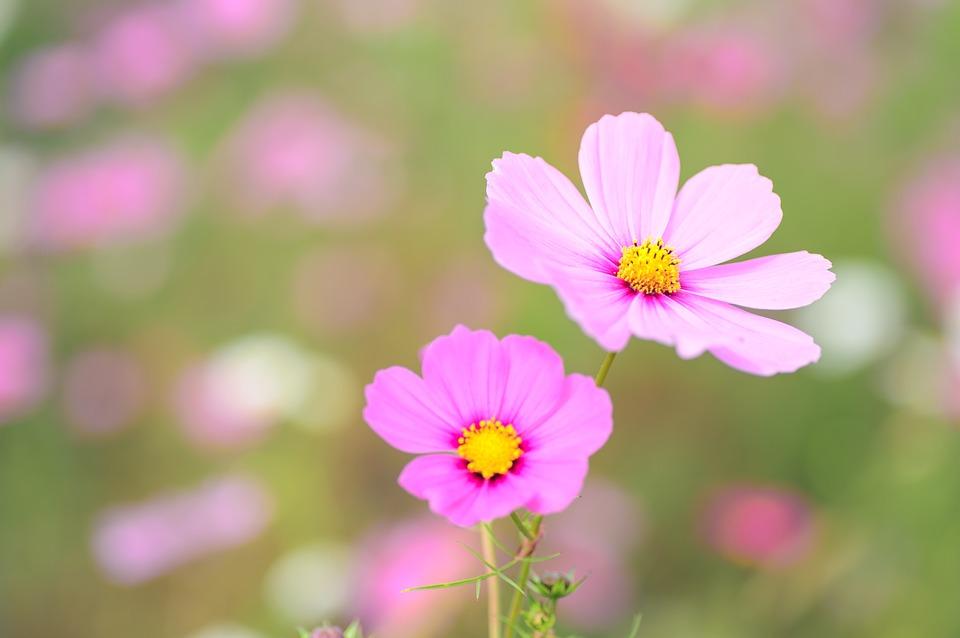 Hoa cúc sao nháy Cosmos Flowers