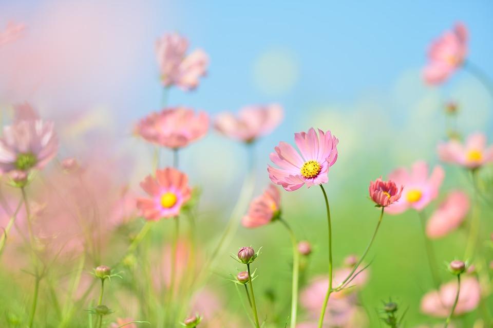 Hoa cúc sao nhái cánh bướm tên tiếng anh Cosmos