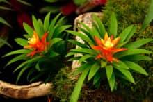 Tiết lộ ý nghĩa phong thủy cây Phong lộc hoa ít ai biết