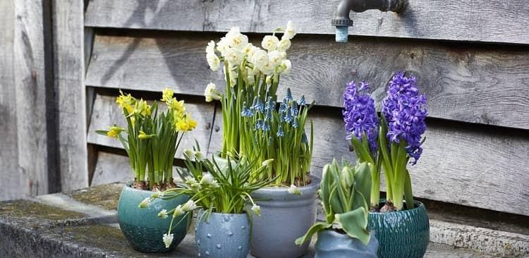 Vị trí bày hoa Thủy tiên hợp phong thủy rước tài lộc may mắn