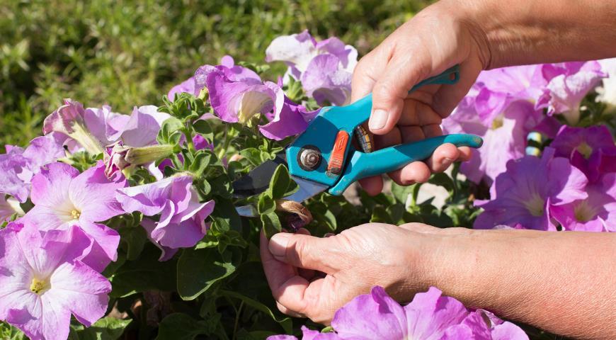 Bước 4: Tiến hành cắt giảm 1/3 số cây mỗi tuần