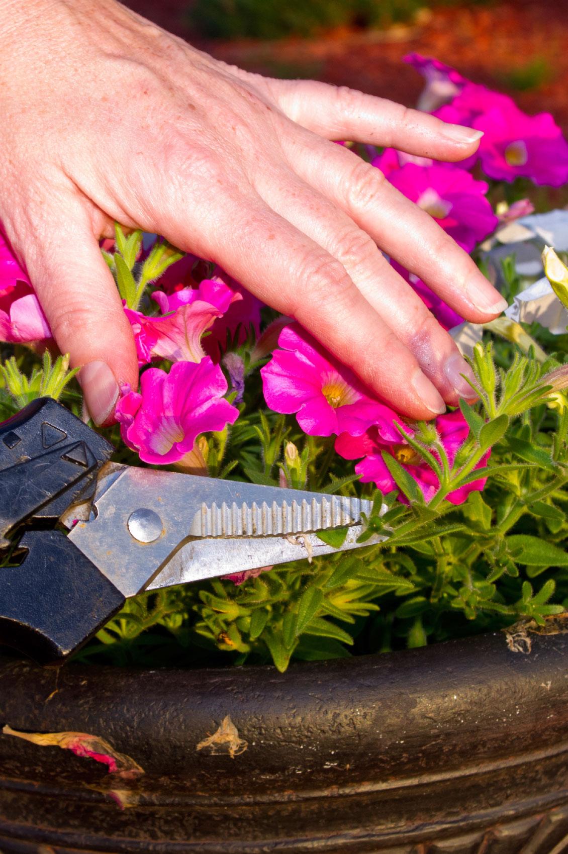 Loại bỏ chồi trông yếu ớt và không mọc hoa, hãy tỉa chúng xuống ngay lập tức.