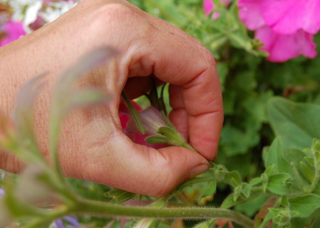 Mẹo hay cắt tỉa hoa dạ yến thảo giúp cây khỏe mạnh nở lâu hơn