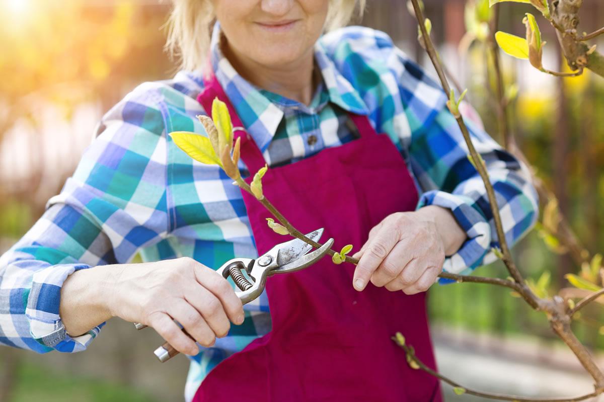 Sử dụngkéo cắt (đối với cành nhỏ) hoặc cưa cắt tỉa (đối với cành lớn hơn) để cắt bớt các chi.