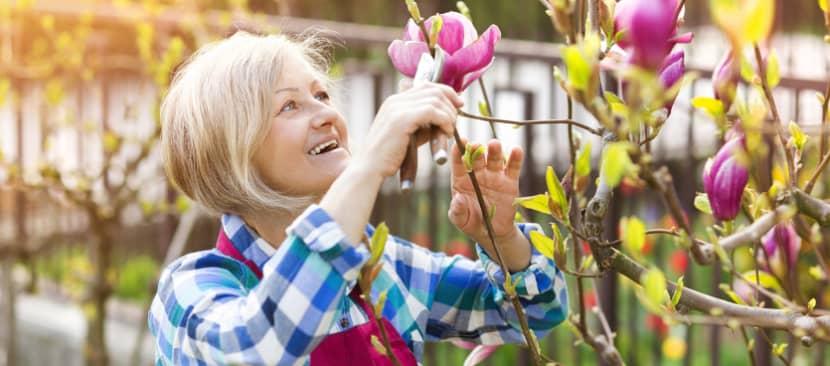 Hướng dẫn kỹ thuật cắt tỉa cây hoa mộc lan