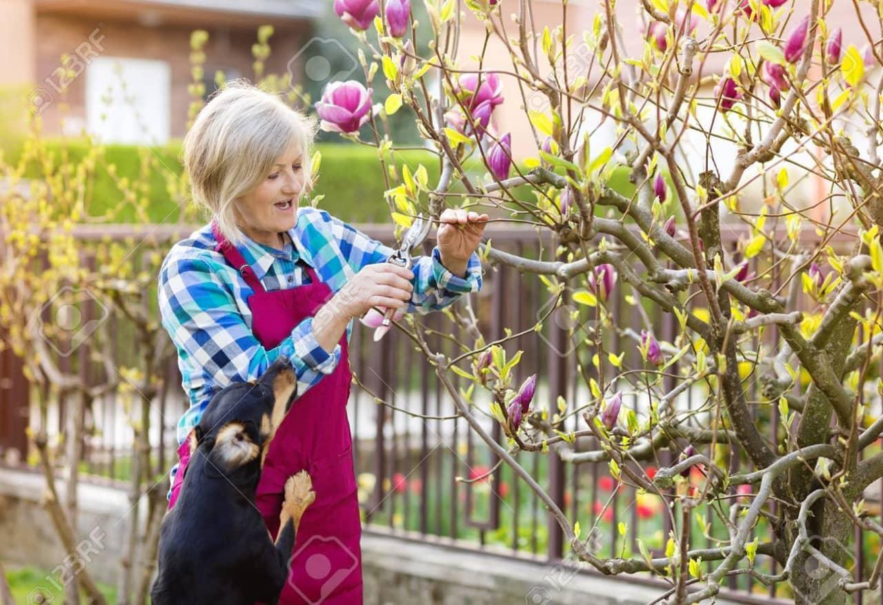 Cành gỗdễ gãy và thường không tạo ra lá hoặc hoa, ngay cả khi phần còn lại của cây đang nở hoa.