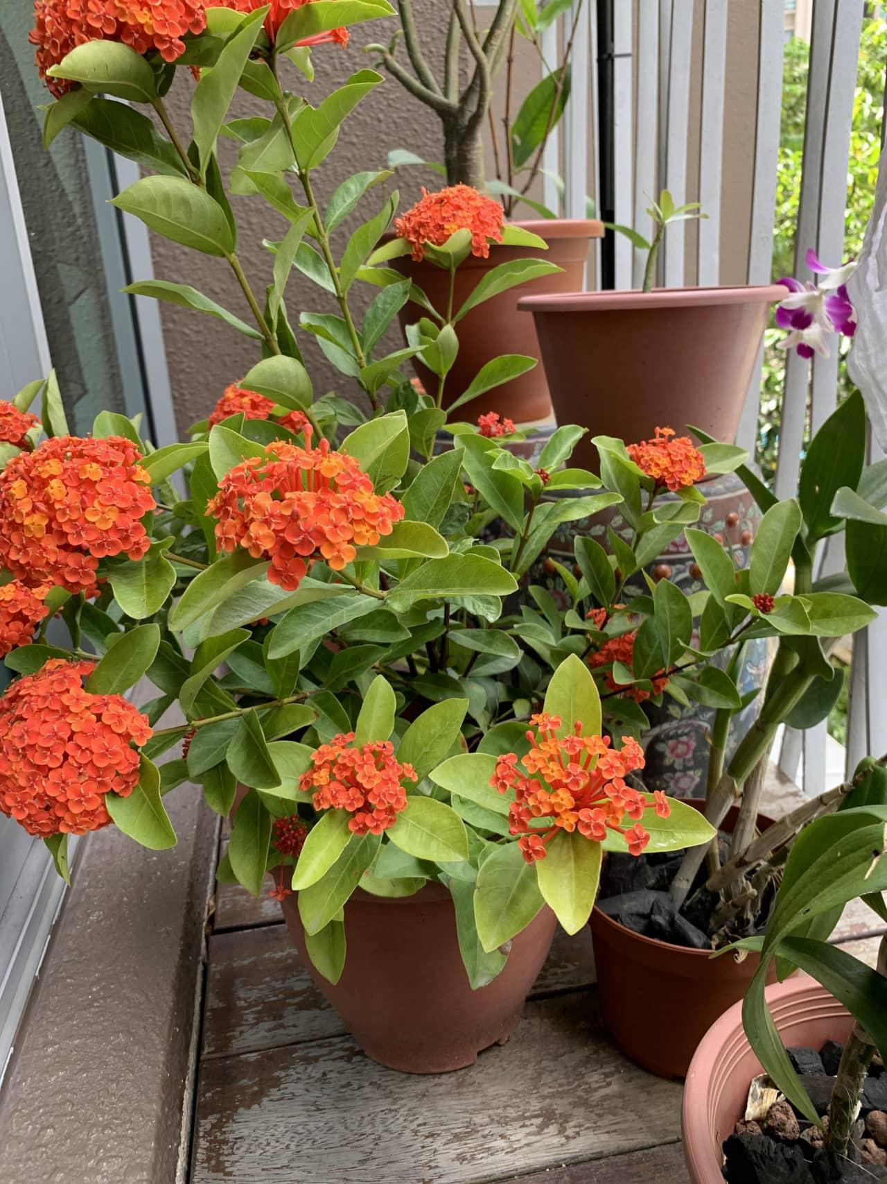 Chi tiết các bước giâm cành trồng hoa mẫu đơn ta