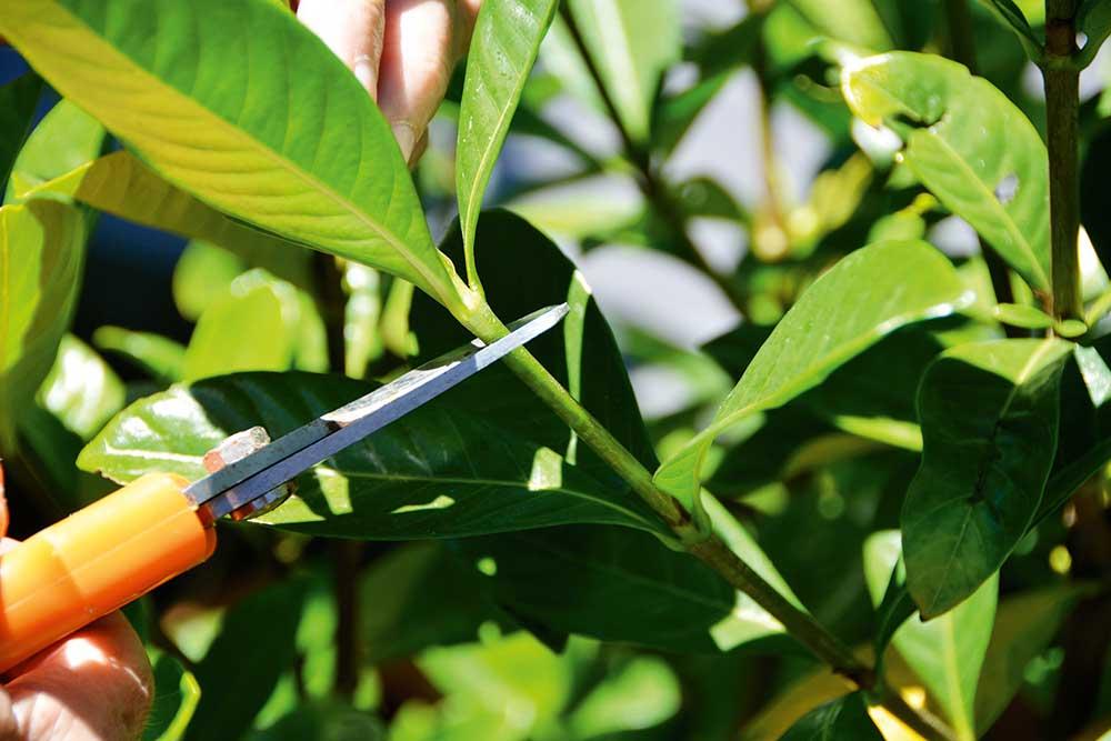 Sử dụng kéo cắt sắc hoặc dao lưỡi mỏng thật bén để cắt hom.Đảm bảo vết cắt ngọt, dứt khoát, không cắt hai lần hoặc nhiều lần tại một dấu cắt