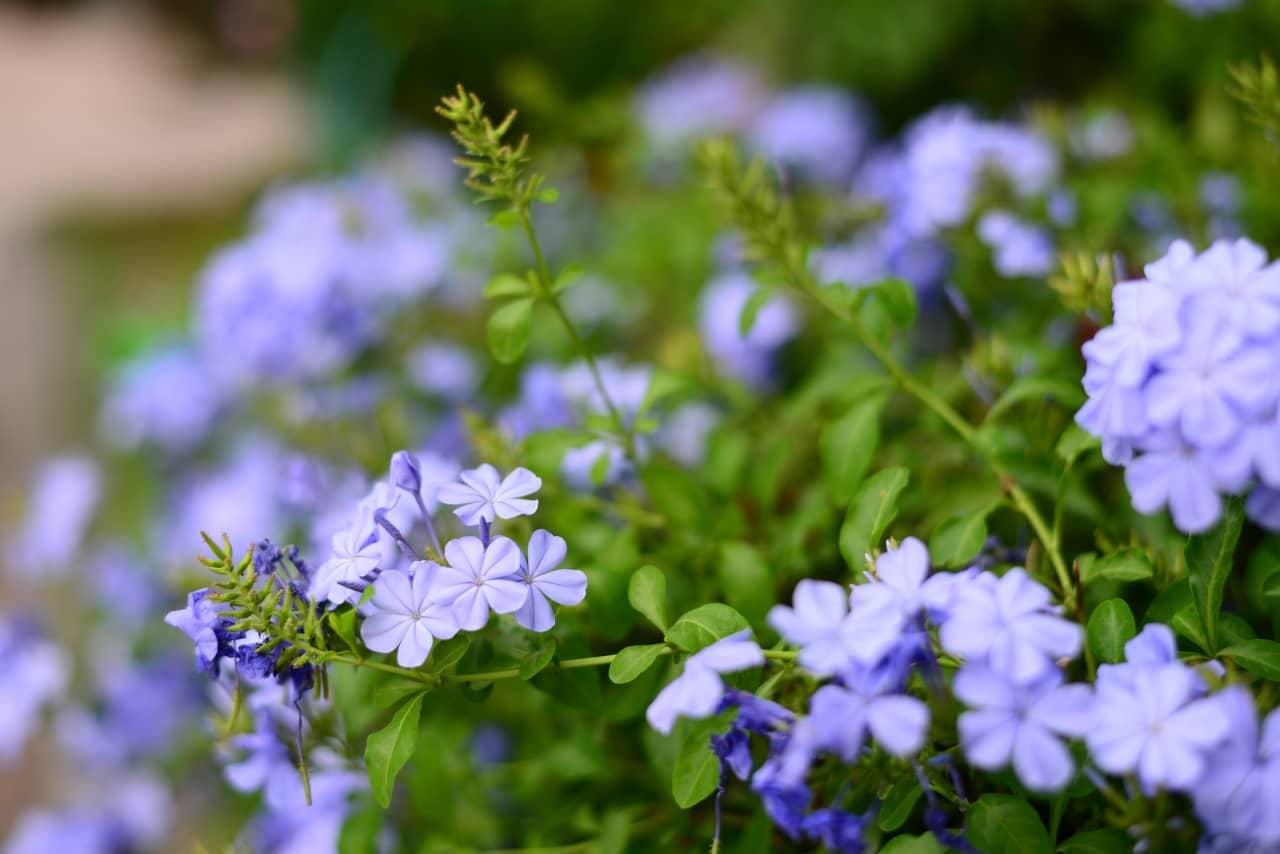 Bật mí bí kíp giâm cành hoa thanh xà nhân giống hoa