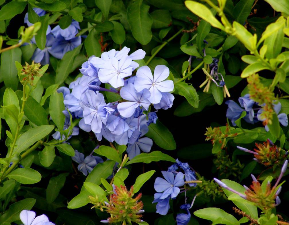 Mẹo nhân giống hoa đuôi công xanh trồng chậu bừng sáng sân vườn