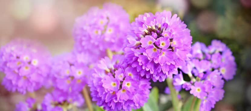 Tất tần tật về hoa anh thảo dùi trống Primula denticulata