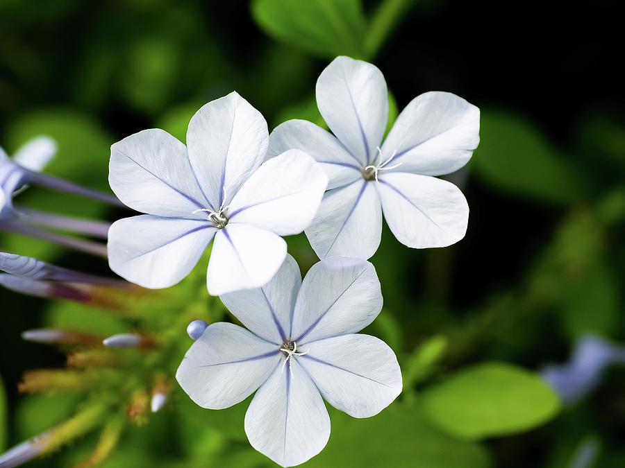 Tìm hiểu nguồn gốc và đặc điểm Hoa bạch xà Plumbago zeylanica