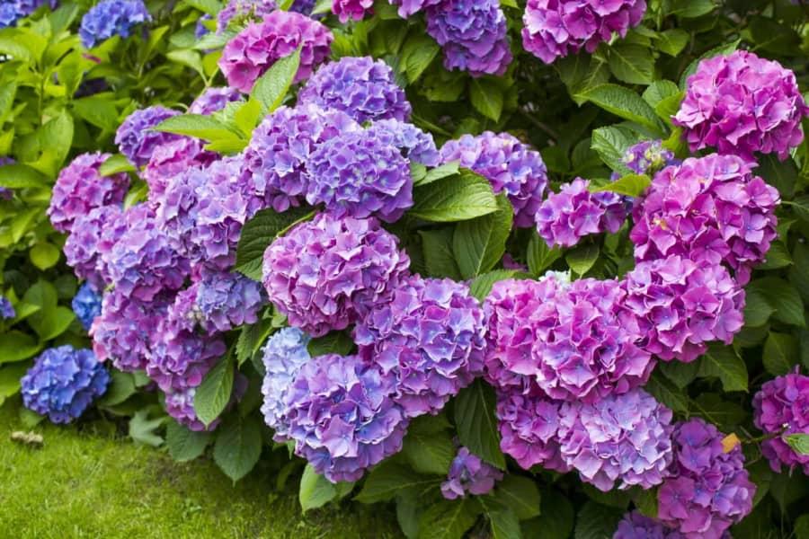 Những điều cần biết về hoa cẩm tú cầu Hydrangea macrophylla