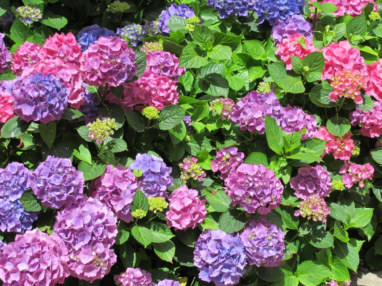 - Nguồn gốc: hoa có xuất xứ từ Nhật Bản