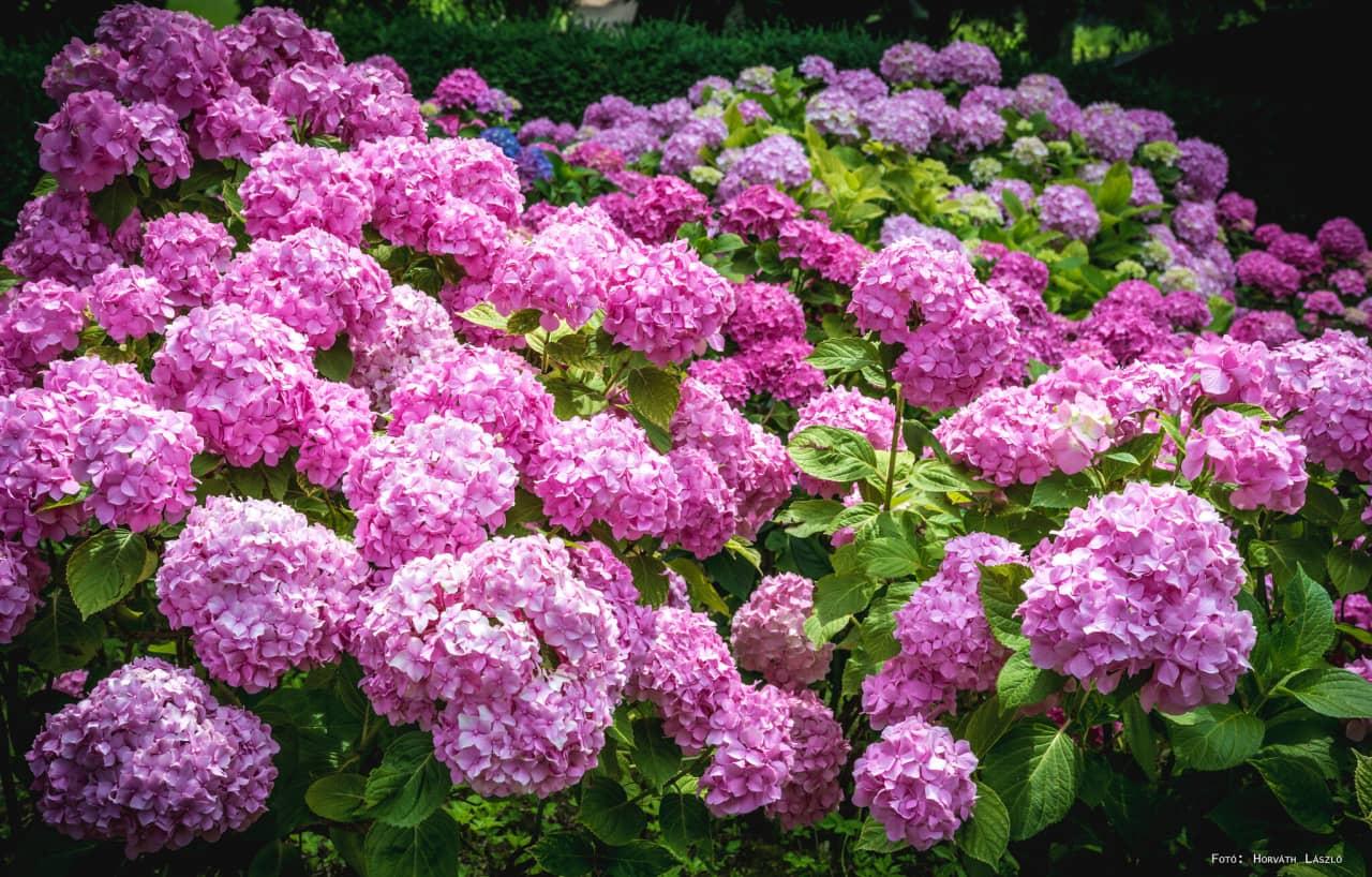 Trồng cẩm tú cầu trong bồn hoặc bụi hoa ngoài vườn tô điểm không gian thiên nhiên thêm màu sắc