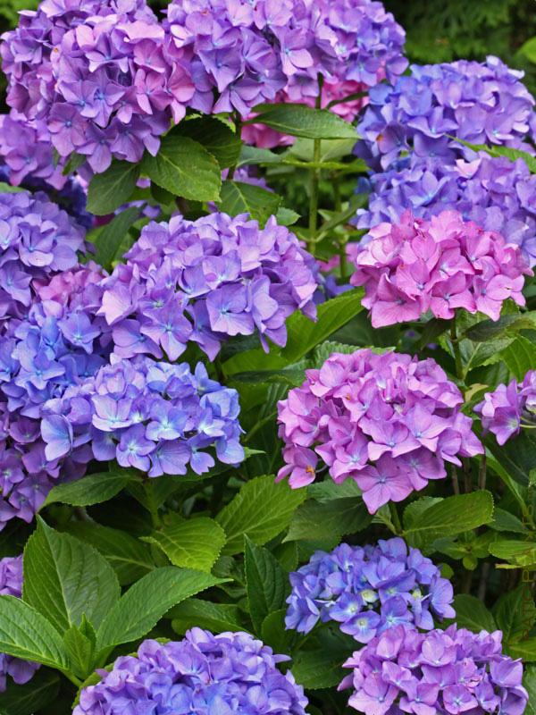 Hoa hình cầu tròn nhiều màu rất đẹp giúp sân vườn thêm phần sang trọng, quyến rũ.
