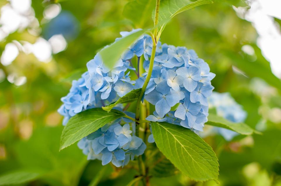 Hydrangea Blue Flowers