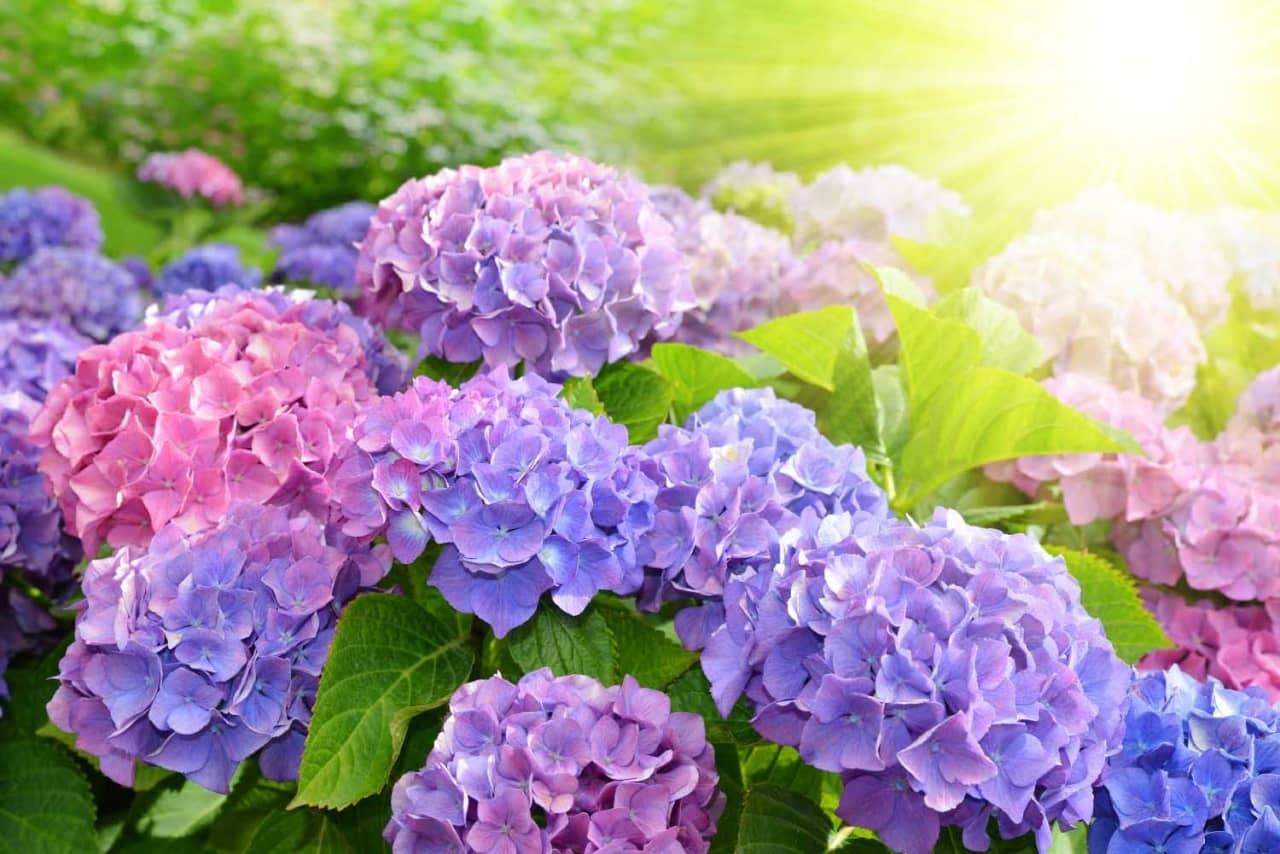 Có thể nhân giống bằng cách giâm cành vào mùa Xuân chính là thời điểm thích hợp nhất