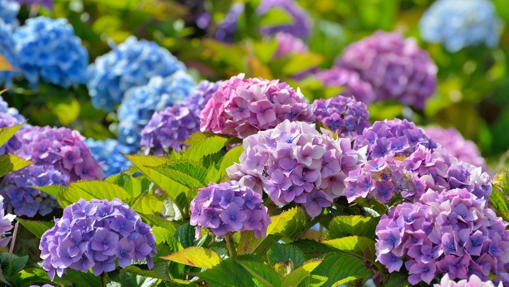 Như xanh lam, hồng phớt , xanh biếc, tím nhạt… tùy thuộc vào nơi trồng và độ pH của đất. Hoa cũng có thể đổi màu liên tục trong cả chu kỳ phát triển