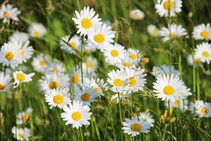 Tất cả những điều cần biết về hoa cúc họa mi Matricaria Chamomilla