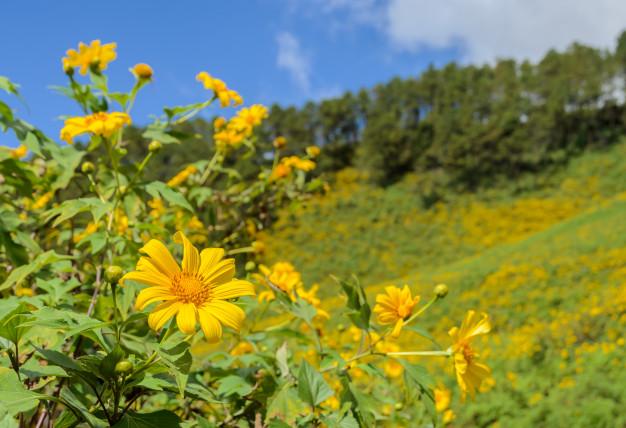 Thường ra hoa vào dịp cuối mùa thu, đầu mùa đông (khoảng cuối tháng 10 đến đầu tháng 12 hàng năm)